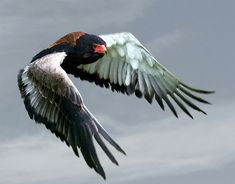 """How to Photograph Birds in Flight by Clive Anderson. Photo: """"Bateleur eagle flying west"""" captured by John Booth. http://www.picturecorrect.com/tips/how-to-photograph-birds-in-flight/"""