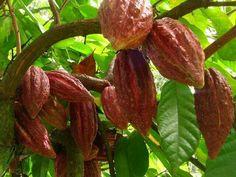 Cacao plantation