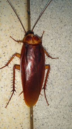 Just One #Cockroach? Probably Not- Cockroaches #reproduce quickly, with eggs that are impervious to many over-the-counter pesticides. For every one roach you see there can be many more hiding and reproducing in the walls and other hiding places.