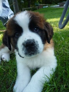 have always wanted a St.too much beethoven as a child Chien Saint Bernard, St Bernard Puppy, Baby St Bernard, Cute Dogs And Puppies, I Love Dogs, Pet Dogs, Corgi Puppies, Weiner Dogs, Doggies