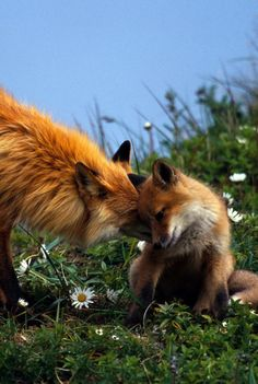 Mommy fox gives kisses to her baby