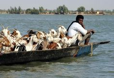A shepherds sits in a pirogue with his flock as he sails on the Niger River, near Timbuktu, Mali on Feb. 4, 2013.