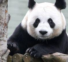 Yang Guang (Sunshine) at Edinburgh Zoo