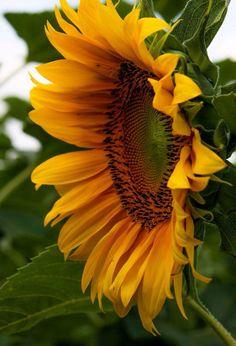 Sunflower petals surround the center the plants are grown for Sunflower Garden, Sunflower Art, Sunflower Fields, Yellow Sunflower, Happy Flowers, Flowers Nature, Beautiful Flowers, Sun Flowers, Sunflowers And Daisies