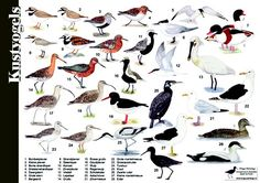Aquatic Birds, Animal Posters, Nature Journal, Bird Illustration, Water Plants, Great Pictures, Bird Watching, Beautiful Birds, Animal Photography