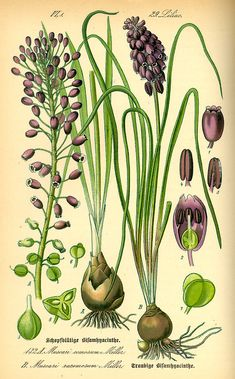 Shop Grape Hyacinth (Muscari neglectum) Poster created by Pokeweed. Vintage Botanical Prints, Botanical Drawings, Nature Illustration, Botanical Illustration, Botanical Flowers, Botanical Art, Art Floral, Illustration Botanique Vintage, Impressions Botaniques