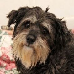 Jora is an adoptable Havanese Dog in Auburn, NE. Jora the Lovely is a simple dog with a simple request - PICK ME! She is goodness and light. She is calm, sweet, undemanding, loving, friendly and so so...