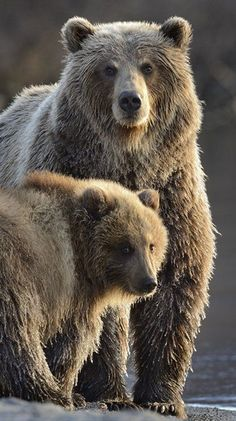 Grizzly Bear and cub Animals Of The World, Animals And Pets, Baby Animals, Cute Animals, We Bear, Bear Cubs, Spirit Bear, Spirit Animal, Ours Grizzly