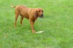 redbone coonhound dog photo | Redbone coon hound dog free wallpaper in free pet category: Dog
