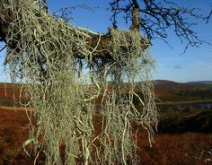 String of sausages lichen (Usnea articulata) growing on a hawthorn branch. Sausages, Vineyard, Outdoor, Outdoors, Vine Yard, Sausage, Vineyard Vines, Outdoor Games, The Great Outdoors