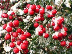 雪化粧の南天の実