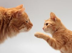 How to Introduce a New Kitten to Your Adult Cats | Cat Lady Confidential - Tap the link now to see all of our cool cat collections!