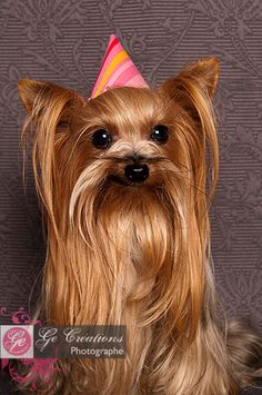 Birthday girl! **** #YorkshireTerrier