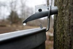 maple syrup tree tap.JPG