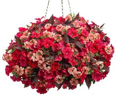Hanging Basket 'Prairie Fire' featuring: Petunia 'Supertunia Red', Verbena 'Superbena Royale Peachy Keen' and Sweet Potato Vine 'Illusion Garnet Lace'