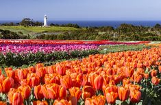 A tulip farm atop a 12 million year old volcano, acres of patchwork fields explode with color each spring. These are the colors of Tasmania's tulip season.