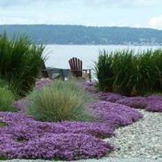 The purple flowers are Thymus serphyllum, red mother of thyme. The plant in the center is blue oat grass, Heliotrichon sempervirens. The taller grass behind these are Miscanthus gracillimus, Maiden grass and also siberian iris, iris siberica. Hope this helps. contemporary landscape by Lankford Associates Landscape Architects