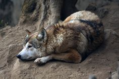 India, Tibetan wolf by ~mildiablos on deviantART