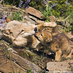 If we don't act now, wolves could lose existing protections and be subjected to…