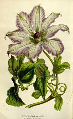 Clematis patens 'Sophia' - circa 1853