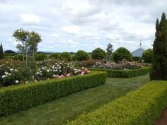 Roses and hedging at historic Woolmers Estate - National Rose Collection.