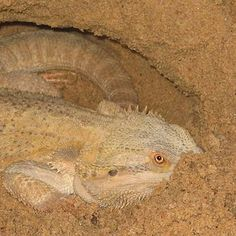 3 reasons why Bearded dragons show burrowing behaviour. This article will give some insights why your Bearded dragon might show burrowing behaviour. http://www.beardeddragons.co.za/bearded-dragon-burrowing-behaviour/