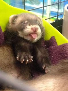 Things that make you go AWW! Like puppies, bunnies, babies, and so on. A place for really cute pictures and videos! Baby Ferrets, Funny Ferrets, Pet Ferret, Ferret Cage, Cute Little Animals, Cute Funny Animals, Fluffy Animals, Animals And Pets, Cute Animal Photos