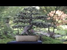 Care guide for the Azalea Bonsai tree (Rhododendron) - Bonsai Empire