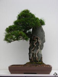 JPB/Carlos Lazaro Diez bonsai tree - Root over rock