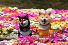 flowers 1kplus shiba shiba inu red sheeb black and tan sheeb