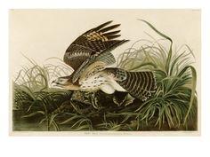 Winter Hawk- Giclee print by John James Audubon