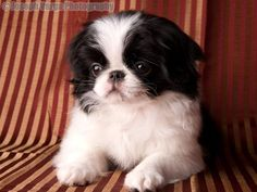 Japanese Chin - I used to have a precious Chin called Yong Kong. Loved her soo much! Teacup Puppies, Cute Puppies, Dogs And Puppies, Doggies, Love Pet, I Love Dogs, Puppy Love, Puppy Pics, Puppy Pictures