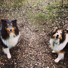 Smiling dogs. We top-toed through the raindrops but we made it to the park. #dogpark #rain