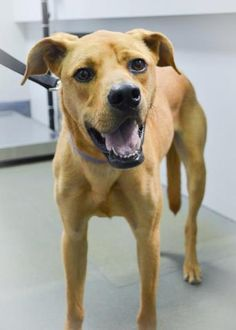 "AUSTIN, TX....I'm Dusty, a great young guy with lots of adventures ahead of me! I already know ""Sit,"" ""Down,"" and ""Shake"" and am eager to learn many more things. I really like other dogs and hope to find a family where I can be a valued member. Please come meet me today!  www austinhumanesociety.org"