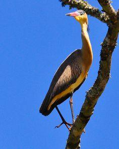 Foto maria-faceira (Syrigma sibilatrix) por Carlos S. Rodrigues | Wiki Aves - A Enciclopédia das Aves do Brasil