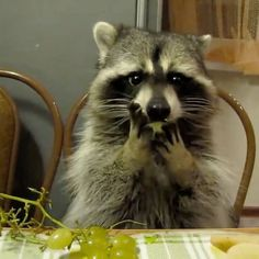 This racoon eating grapes with his tiny hands is too much Funny Baby Bibs, Funny Baby Clothes, Funny Babies, Funny Dogs, Funny Memes, Super Funny Pictures, Guy Pictures, Funny Movies For Kids, Relationship Goals Funny