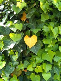 Heart shaped ivy - the perfect climber to create a shady privacy screen or cool nook in the garden. Get some inspiration for how to plant a vertical garden and beautiful structures you can use @ http://themicrogardener.com/add-space-with-creative-vertical-gardens-part-1/ | The Micro Gardener