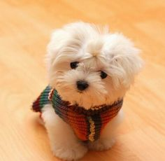 Cute Maltese cute animals white dog puppy pets little tiny maltese