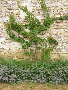 apricots growing against stone wall