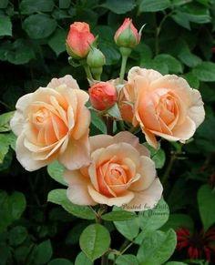 English Roses Rare Peach Rose Seeds Flower Bush Perennial Shrub Garden Home Exotic Home Yard Grown Party Wedding B -
