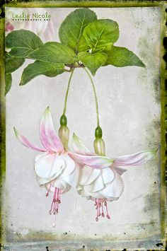 FUCHSIA TWINS | Posted on March 20, 2012 by Leslie Nicole