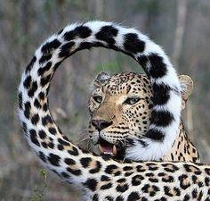 (20) Don Juravin (@DonJuravin) / Twitter Wildlife Nature, Nature Animals, Animals And Pets, Cute Animals, Strange Animals, Wildlife Photography, Animal Photography, Wild Lion, Leopard Animal