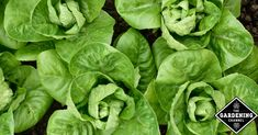 Romaine (also called cos) lettuce is a tasty, popular type of lettuce. Romaine grows in tall heads of sturdy leaves and is very heat tolerant. It gets its name from the Romans, who likely imported it from either Greece or (more likely) Arabia. It is the primary lettuce used in Caesar salads and is popular …