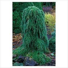 Weeping Hemlock, an easy small #tree with character for part shade to #shade. or something similar (evergreen) for backdrop in corner