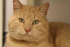 Update: Adopted :-) Joshua has been adopted from the Seattle Humane Society