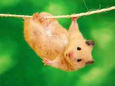 Funny hamster just hanging around!    Purchase a copy of the children's book Henry In A Hurry for $15 here: https://www.createspace.com/4600705