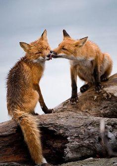 Fox kisses