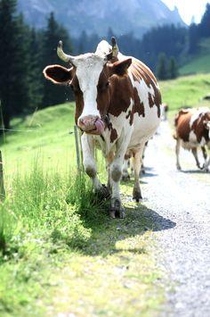 Les vaches vont sur la prairie