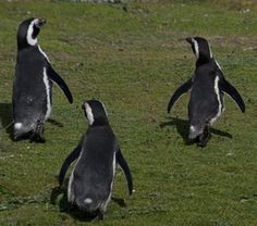 These dancing penquins were photographed by Craig McMahon in Chile.