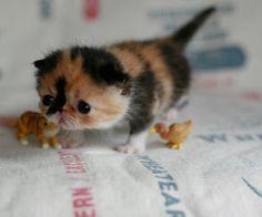 OMG!! Cute Mini Kitty | via Tumblr